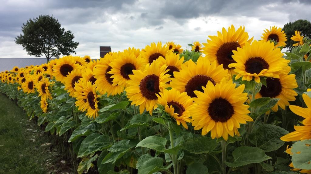 Die Sonnenblume - NABU